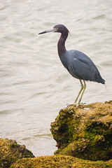 Sebastian Inlet State Park, Florida (Paul A Thomas) Tags: usa birds florida melbournebeach littleblueheron nearctic