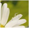 038 (imagepoetry) Tags: summer flower macro nature june garden spider blossom bokeh sigma 70mm imagepoetry