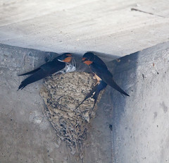 Barn swallows 2 (digiteyes) Tags: park toronto birding barnswallows wildlifepreserve lesliespit