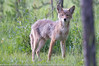 Canis Iatrans - Coyotte 06.jpg