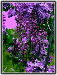 Lilac Festival ~ Rochester NY (Onasill ~ Bill Badzo) Tags: park flowers ny newyork festival rochester highland lilac 1001nights monroecounty 1001nightsmagiccity onasill