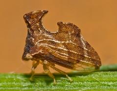 Entylia carinata (entomopixel) Tags: macro insect nikon treehopper macrophotography hemiptera membracidae carinata entylia d7000