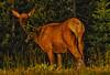 Golden Elk Moment (Jeff Clow) Tags: morning summer bravo feeding eating wildlife elk behavior grandtetonnationalpark goldenlight cowelk jacksonholewyoming ©jeffrclow jeffclowphototour