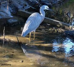 A grey Heron in Little Lake Warilla....Lake Elliott (pat.bluey) Tags: birds ngc australia newsouthwales 1001nights warilla flickraward 1001nightsmagiccity hganimalsonly hg~sb hennysanimals sunrays5