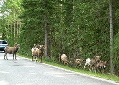 Big Horned Sheep on the Bow Valley Parkway Aug 2013 (I'm cindylouwho2) Tags: canada wildlife alberta rockymountains herd banffnationalpark canadianrockies bowvalleyparkway bighornedsheep canadiannationalparks