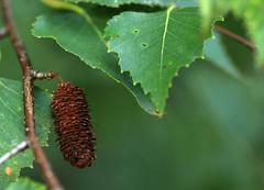 Birch (AVWAR BnB) Tags: tree home catkin birch avwarbnb