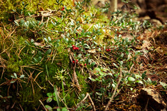 foxberry (Olga Kruglova) Tags: travel red plant macro green nature grass forest solar moss berry berries close space joy vegetation spb 2013 foxberry systo togathering  kuolemajrvi festivalspring