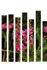 Uygulama (Hseyin Baaolu) Tags: flowers flower nature closeup turkey trkiye mf troia lenses yaz truva iek biga turkei dardanel doa anakkale volna9 summerphotography primelenses oldlenses manuelfocus mflenses pegai sovietlenses volna950mmf28 nikond300s yaknplanekim hseyinbaaolu huseyinbasaoglu summerphotographs yazfotoraflar oldsovietlenses dthseyinbaaolu dthuseyinbasaoglu manuelfocuslenses yazfotorafl primeobjektives