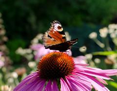 DSA_4680 (Samuel Strgefors) Tags: flower butterfly close blomma nrbild fjril