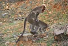 Wonder what he's up to! (Nanditasr) Tags: mating monkeys