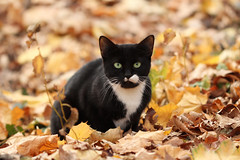 tuxedo kitten in Morningside Park (@harryshuldman) Tags: new york nyc morning winter wild urban west eye abandoned nature amsterdam animal cat canon fur photography rebel drive eyes kitten feline bokeh harlem manhattan side broadway parks harry kitty upper domestic purr stray meow greater dslr morningside catseye uws feralcat feral felis hiss t3i catseyes nycparks carnivora felidae nycpark caturday shuldman hshuldman harryshuldman vision:sky=0506