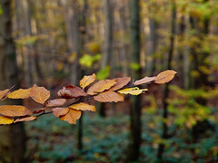 Beeches (dolorix) Tags: november autumn leaves forest herbst wald bltter beech buche dolorix
