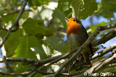 Pisco-de-peito-ruivo (Diogo O. (TheRocky41)) Tags: wild naturaleza bird portugal nature robin birds animal animals fauna euro