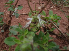 Orthosiphon aristatus - Cat's whiskers (ಶಾಂತಿ ಧಾಮ - Shānti Dhāma) Tags: life flowers trees india leaves bangalore wildflowers karnataka reforestation medicinalplants catswhiskers afforestation orthosiphonaristatus hesaraghatta shanthidhama indigenousplants wildflowersofindia sonnenahalli doddaballapura shantidhama challahalli wwwshantidhamain karlapura chellahalli haniyuru haniyoor letsintegrateforenvironment httpletsintegrateforenvironmentblogspotin