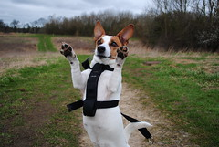 Dance like no one's watching <3 (Jade & paws) Tags: cindy jack dance russell ears prick