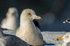 021214-1320018.jpg (jim sonia) Tags: bird nh pick icelandgull