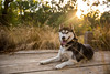Sunset (Gertrude139) Tags: sunset blackandwhite dog smile grass reeds outside happy husky long pretty outdoor siberianhusky boardwalk sibe bieyed