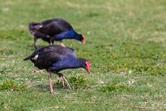 Pukeko (tewahipounamu) Tags: newzealand nelson neuseeland pukeko purpleswamphen foundersheritagepark purpurhuhn