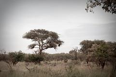 IMG_4563 (21Spicy) Tags: africa sunset elephant nature monkey wildlife lion safari rhino giraffe vulture bushwalk krugernationalpark kruger kudu africansafari wildlifephotography