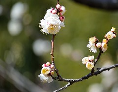 Plum flower (Raisamira) Tags: flower nature japan landscape spring bokeh plum
