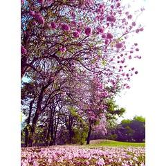 Last pink... See you again next year #tabebuya #flower #pinkflower #plant #biodiversity #chatuchak #bangkok #thailand #bbkk #สวนรถไฟ #สวนวชิรเบญจทัศ #ชมพูพันทิพ