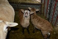 2014-365-060 (~BJG~) Tags: twins babies sheep lambs dads 365 cuteness katahdin dsc4338 2014yip