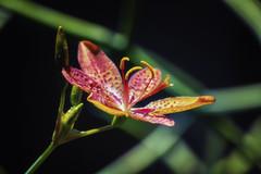Lily (giovanibr) Tags: brazil plant flower nature brasil canon garden natureza flor style stamens lirio lilium stigma filament tepal naturemasterclass