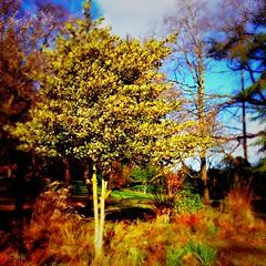 Gelli Tanllyd / Burning Bush - Parc Thomson (FfotoMarc) Tags: blue winter red tree wales cymru cardiff caerdydd coeden gaeaf parksgardens parcthomson ccopyrighthawlfraintffotomarc allrightsreservedcedwirpobhawl