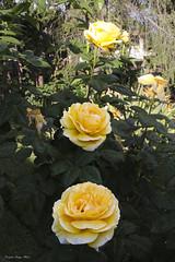 Roses and Rain (Cristiano Drago) Tags: flowers red roses macro colors rain rose yellow canon garden giallo fiori rosso colori pioggia giardino blondegirl 650d ilobsterit cristianodrago