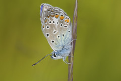 Common Blue (the__edge) Tags: macro nature closeup butterfly insect day outdoor schmetterling commonblue polyommatusicarus hauhechelblauling