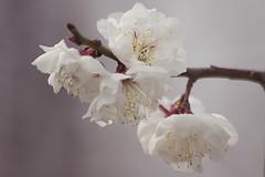 Plum Blossom (Johnnie Shene Photography(Thanks, 1Million+ Views)) Tags: flowers trees plants plant flower macro tree nature canon lens eos rebel kiss zoom blossom wildlife blossoms plum sigma apo 70300mm plums dg 456 t3i x5 70300   600d f456