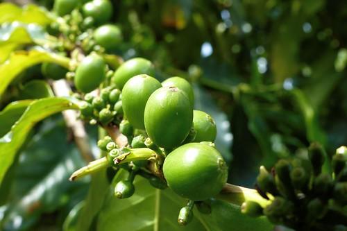 Coffee at Piliani Kope Coffee Farm