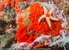 Fromia nodosa - étoile de mer élégante 01.jpg