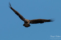 Head on with a juvenile Bald Eagle