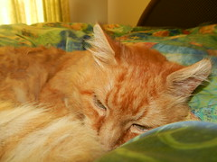 DSCN4229 sleepy but alert (drayy) Tags: orange cat bed soft sleep fluffy sleepy mainecoon neko ggg cc400 cc300 cc200 cc100 oreengeness velvetpaws thebiggestgroupwithonlycats