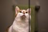 Reflecting Dexter - #47/365 (Kadacat (Marlene)) Tags: reflection cat mirror dexter bathroomvanity day47 day47365 365the2015edition 3652015 16feb15