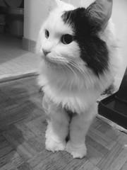 Trail mix (AMGuerrero_) Tags: blackandwhite bw toronto cute cat photography audreyhepburn fluffy purrfect