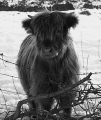Highland calf in snow (kyliepics) Tags: evolt520 e520 olympus om50mmf18 rawtherapee blackwhite animal addedtogroups