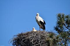 Cigognes dans leur nid (Mystycat =^..^=) Tags: france nid oiseau bassindarcachon cigogne aquitaine ciconiaciconia gironde leteich cigogneblanche rserveornithologiqueduteich
