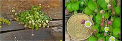 Bellium minutum / pseudo-daisy (Karl Hauser) Tags: flowers flower flora pflanzen ikaria  bellium belliumminutum kniebiskarle
