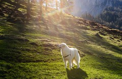 Smelling and scanning the surroundings (balu51) Tags: dog white mountain backlight landscape evening abend shadows meadow berge mai hund 60mm alp eveningwalk sonnenstrahlen eveninglight kuvasz frhling gegenlicht 2016 lichtundschatten abendspaziergang lrchen ungarischerhirtenhund livestockguardingdog copyrightbybalu51