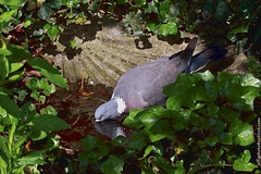 Wood Pigeon (Columba palumbus) (Jeff G Photography - jeffgphoto@outlook.com) Tags: bird water birds thirsty stjamesspark woodpigeon columbapalumbus