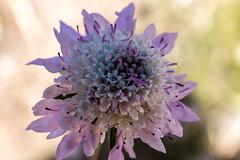 67Jovi-20160529-0042.jpg (67JOVI) Tags: macro valencia flora flor albufera racodelolla
