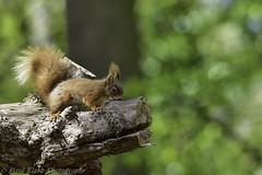 Red Squirrels of Brownsea Island  (wild & Free) (lloydie1963) Tags: nature nikon walks colours outdoor wildlife explore dx redsquirrels brownseaisland onlythebestofnature d7200 nikon300mmf28vr2