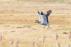common crane (pasiak75) Tags: zima grus 2016 ptaki żuraw dolinabaryczy
