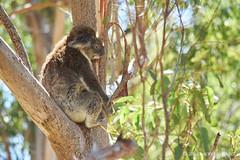 Nap time in Yanchep (alǝxH3o) Tags: koala animal australia westernaustralia yanchep yanchepnationalpark dsc05885co dsc05885cowm watermarked nap tree eucalyptus flickrpublic sonya7 sonya7m2 sonya7ii ilce7m2 minoltaaf70210mmf4 beercan