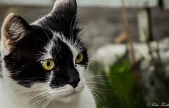 What's happen? (tinellifabio) Tags: face animal cat canon blackwhite eyes feline occhi sguardo giallo felino gatto ritratto animale muso profilo animaledomestico occhigialli 55250 canon600d smalfeline