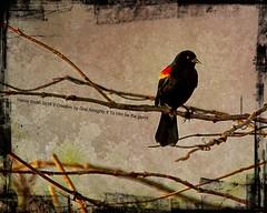 Red-winged Blackbird (NancySmith133) Tags: photopainting centralfloridausa lakeapopkanorthshorewildlifedrive