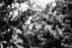 Just the Start (belleshaw) Tags: blackandwhite abstract detail nature strand bokeh spiderweb silk line taut ranchosantaanabotanicgarden