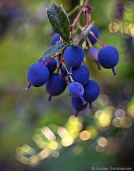 After The Flowers - Berberis darwinii (mjardeen) Tags: blue plant macro green closeup 35mm washington dof bokeh sony wideangle depthoffield wa tacoma minox barberry wideopen berberis 28 a7ii minotar 10mmextensiontube darwinii nikcolorefex a7m2 minoxminotar35mm28